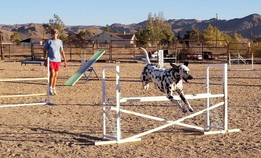 Rocky the Dalmatian practicing jumps at agility
